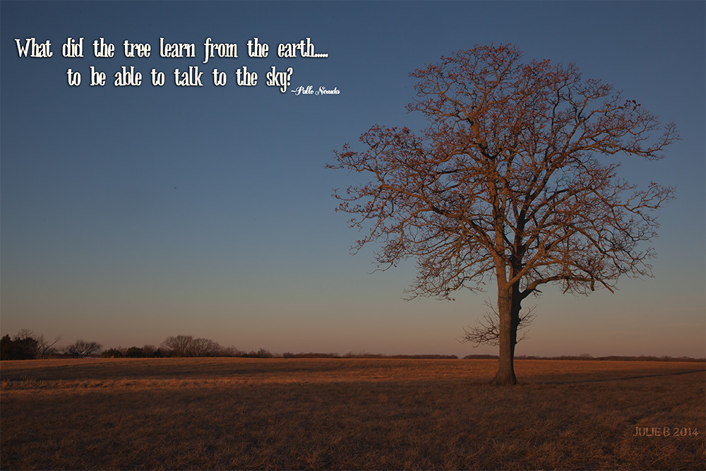 Oak Tree Quote 01122014 365 | One of the great oaks on the ...