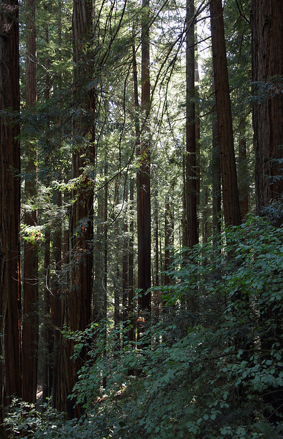 Muir Woods National Monument, Redwood Canyon, near Mill Valley, Marin, Ca., USA