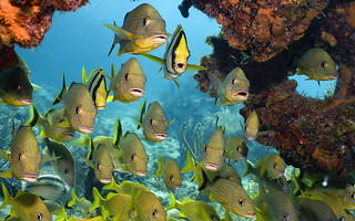 A variety of fish school together including French grunt (Haemulon flavolineatum), Bluestriped grunt (Haemulon sciurus), and Porkfish (Anisotremus virginicus), Florida Keys National Marine Sanctuary, Florida, U.S. | by Northern Image Photography