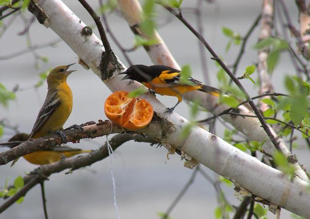 Oriole couple arguing