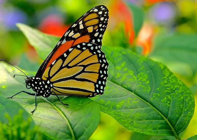 Monarch - Explore #27  7-27-2013 -  Danaus plexippus -  Peck Farm Butterfly House Geneva IL