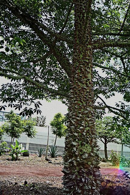 Ceiba jóven, Parque Bicentenario Refinería, México,D.F. P1100914EGT