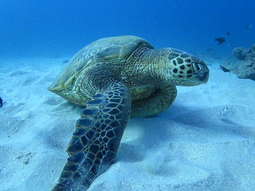 12-27-13 - Oahu Dive - Sea Turtle | by inky