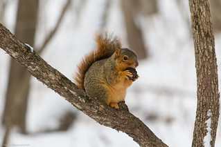 Eastern Fox Squirrel (Sciurus niger), Thorn Creek Woods, Will County, IL, 01/04/14 | by Mark Messersmith