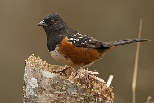 Spotted towhee | by Through The Big Lens