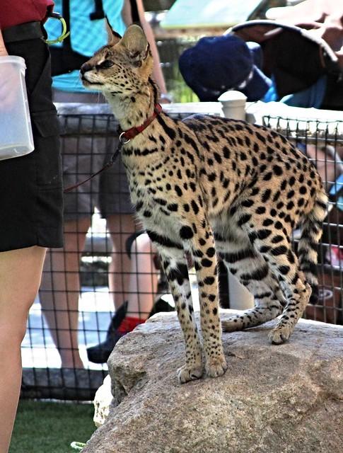 Serval - African wild cat  (Zuri)