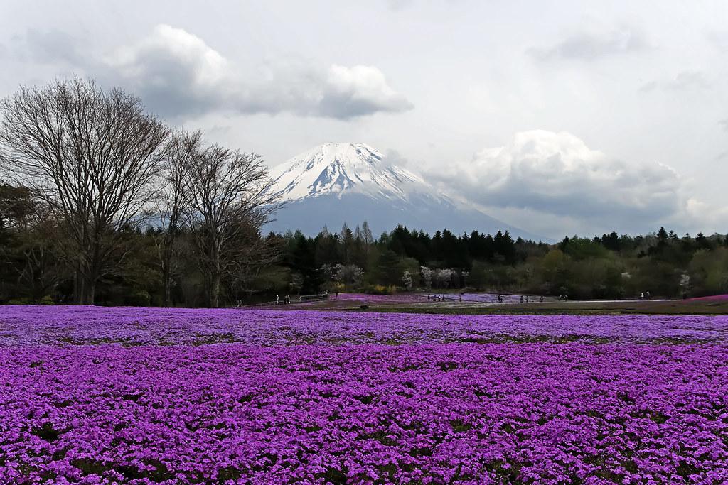芝桜と富士山 II