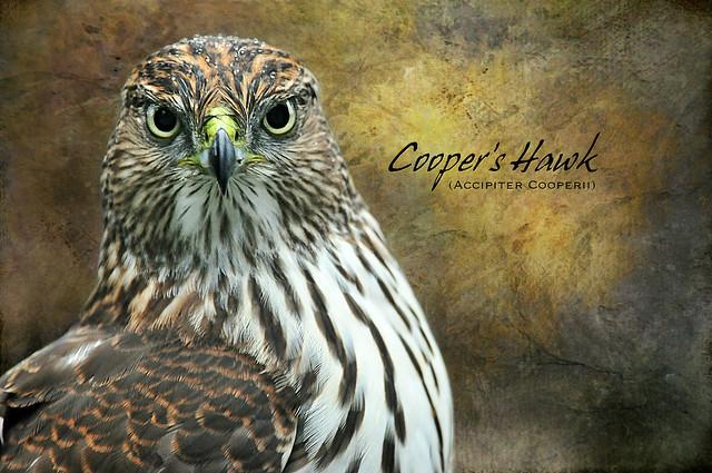 Cooper's hawk (Accipiter cooperii) . . .