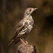 Mistle Thrush - Photo (c) Ximo Galarza, some rights reserved (CC BY-NC-SA)