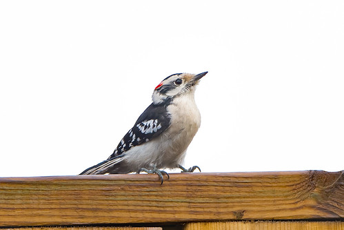 Male Downy Woodpecker (Picoides pubescens) | by mjvardy