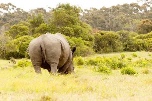 africa rhino endangered mammal dangerous outdoor horn background poaching animal creature rhinoceros wildlife african calf wild nature big natural wilderness baby portelizabeth easterncape southafrica zaf