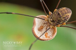 Harvestman (Opiliones) - DSC_1554 | by nickybay