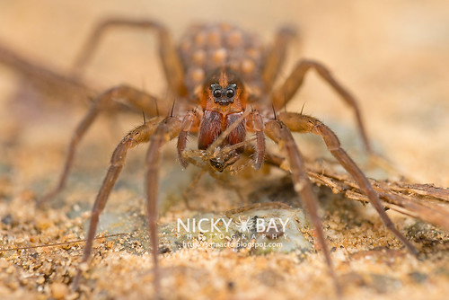 Wolf Spider (Trochosa sp.) - DSC_2464   by nickybay