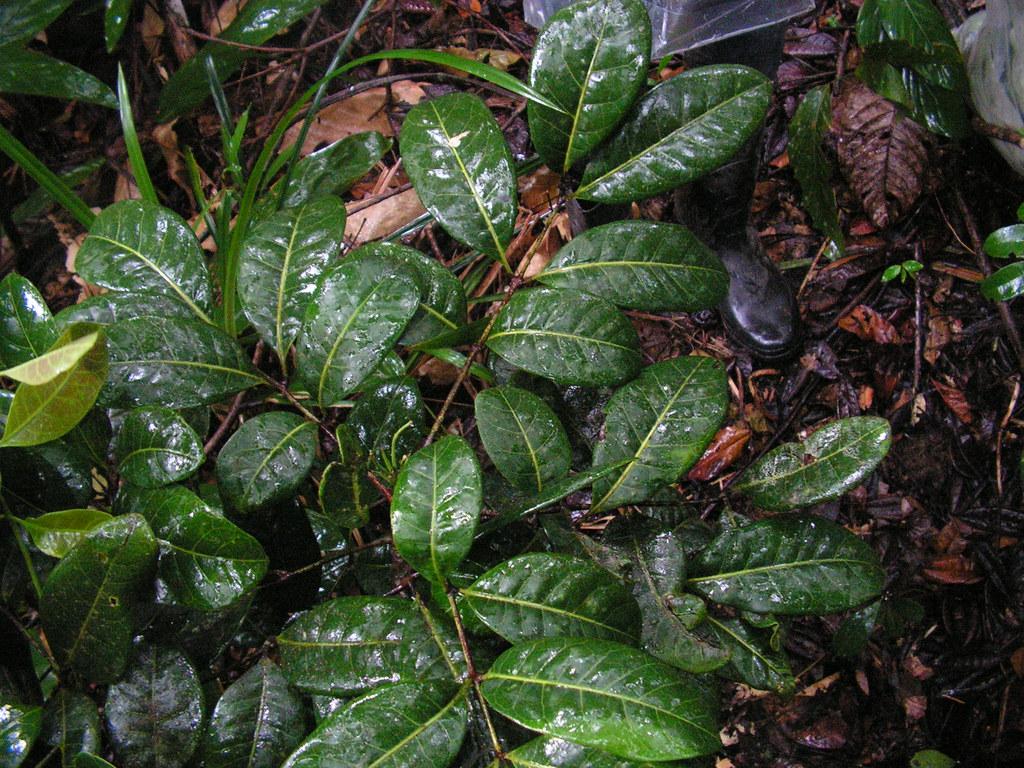 Resultado de imagen de Catuaba plantas