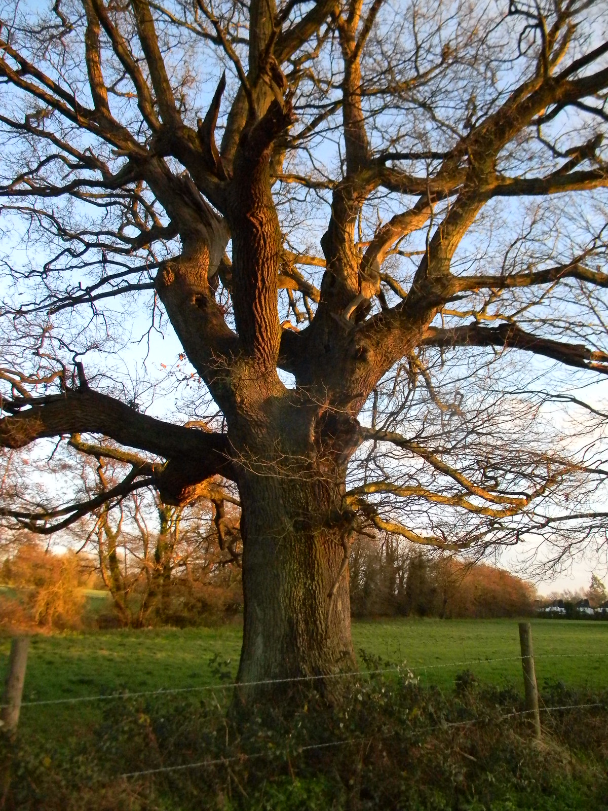 Big old oak Woldingham to Oxted - short walk