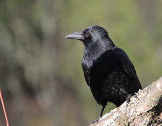 Carrion Crow | by themadbirdlady