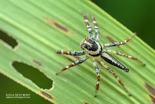 Jumping spider (Telamonia sp.) - DSC_3930