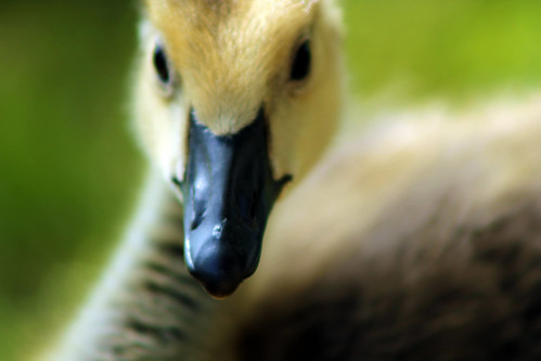park nature closeup neck eyes bokeh feathers gosling johnstonri johnstonwarmemorialpark