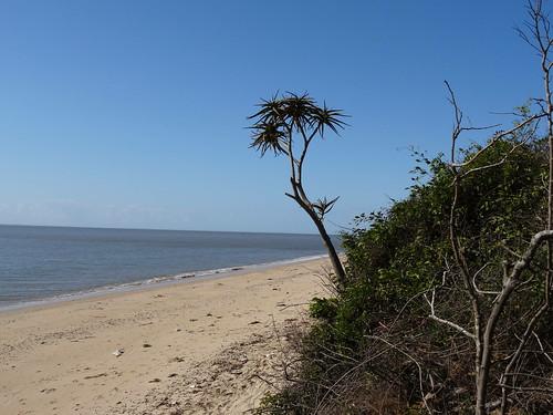 trees succulent mozambique catembe maputoprovince taxonomy:binomial=aloebarberae aloetongaensis
