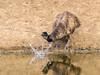 Emu (Dromaius novaehollandiae) - Splash! by David Cook Wildlife Photography