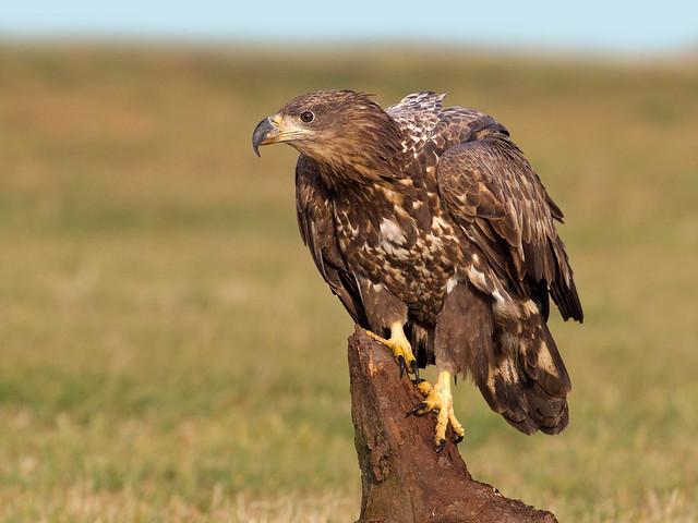Eagle ( wild )