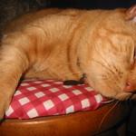 Butterscotch - high strung cat