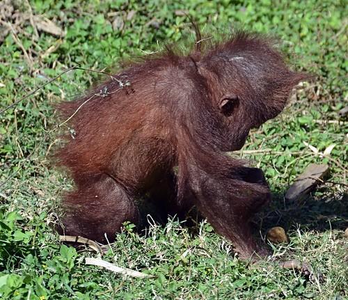 baby mammal zoo texas orangutan ape endangered primate brownsville gladysporterzoo sumatranorangutan pongoabelii nikond7000 nikkor18to200mmvrlens