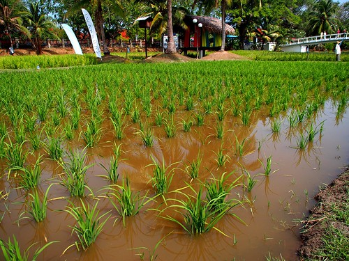 rice paddy field at the Rice Museum Langkawi 2014 03 19 | by Geoff Bowers1