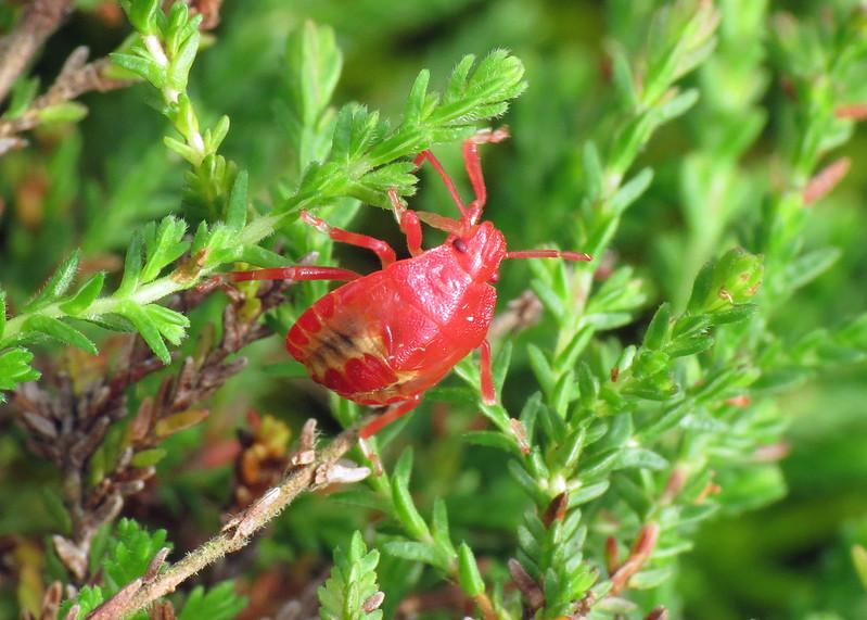 Heather Shieldbug - Rhacognathus punctatus (Larvae)