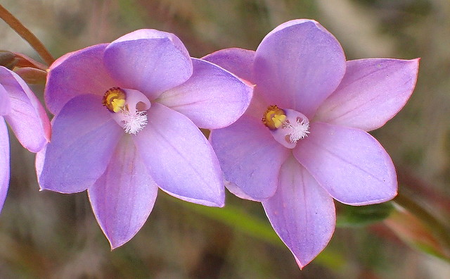 Dreamy SUN ORCHIDS -  Thelymitra species