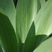 Leaves of a green gentian / monument plant.