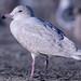 Flickr photo 'Glaucous Gull' by: Aaron Maizlish.