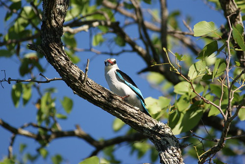 woodland kingfisher, Ngala GR, Kruger NP, South-Africa | by cirdantravels (Fons Buts)