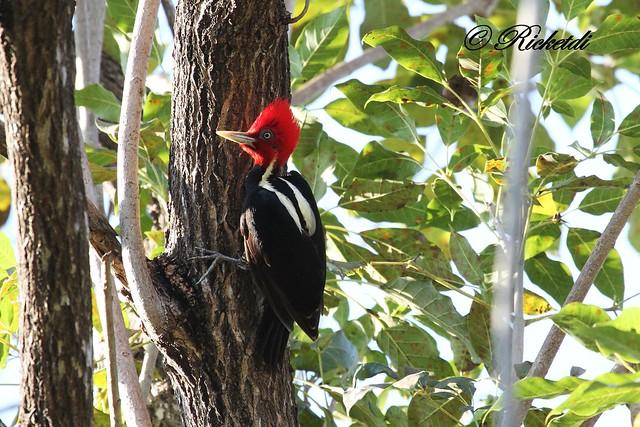 pic à bec clair -Pale-billed Woodpecker-Campephilus guatemalensis
