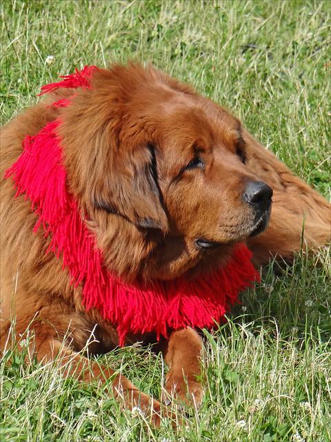 Dogue du Tibet