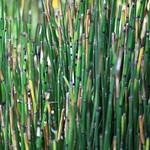 rough horsetail / Equisetum hyemale / 木賊(トクサ)