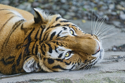 Lailek with head on the ground | by Tambako the Jaguar