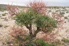 Pelargonum crithmifolium in habitat