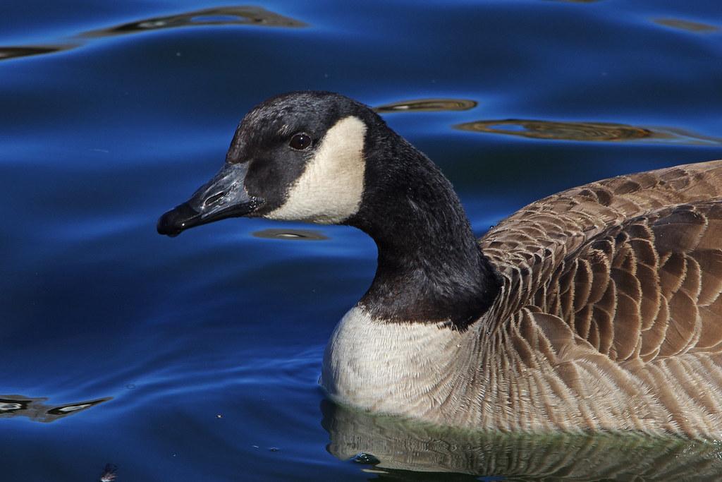Canada Goose (Branta canadensis). Albuquerque, New Mexico, USA.
