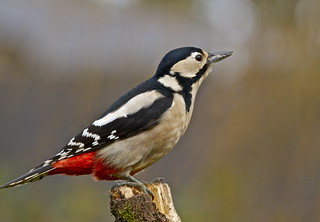 GREAT SPOTTED WOODPECKER ( Explore #46 19.02.2014 )   by tony.cox27
