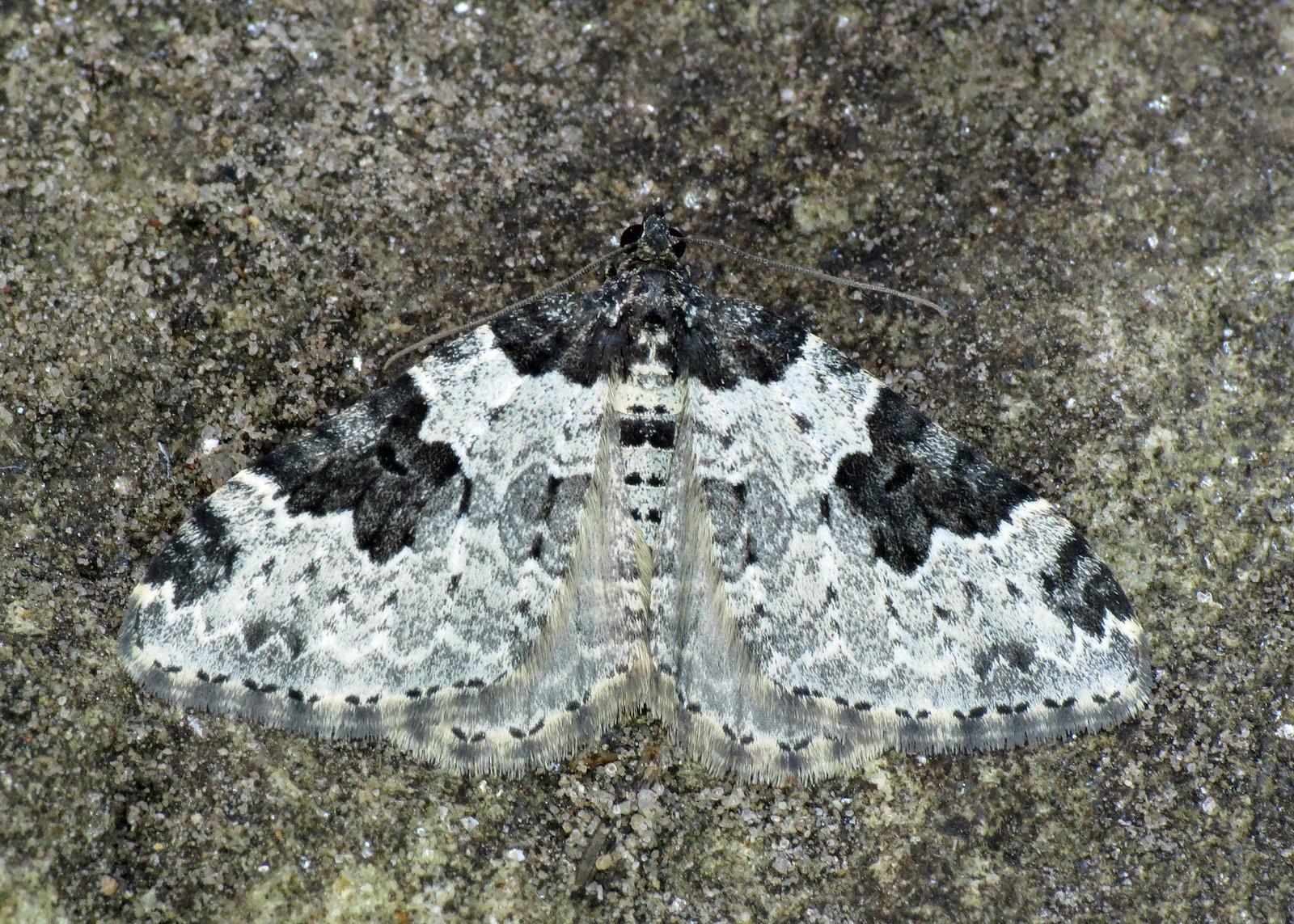 1728 Garden Carpet - Xanthorhoe fluctuata