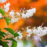flowers of deutzia