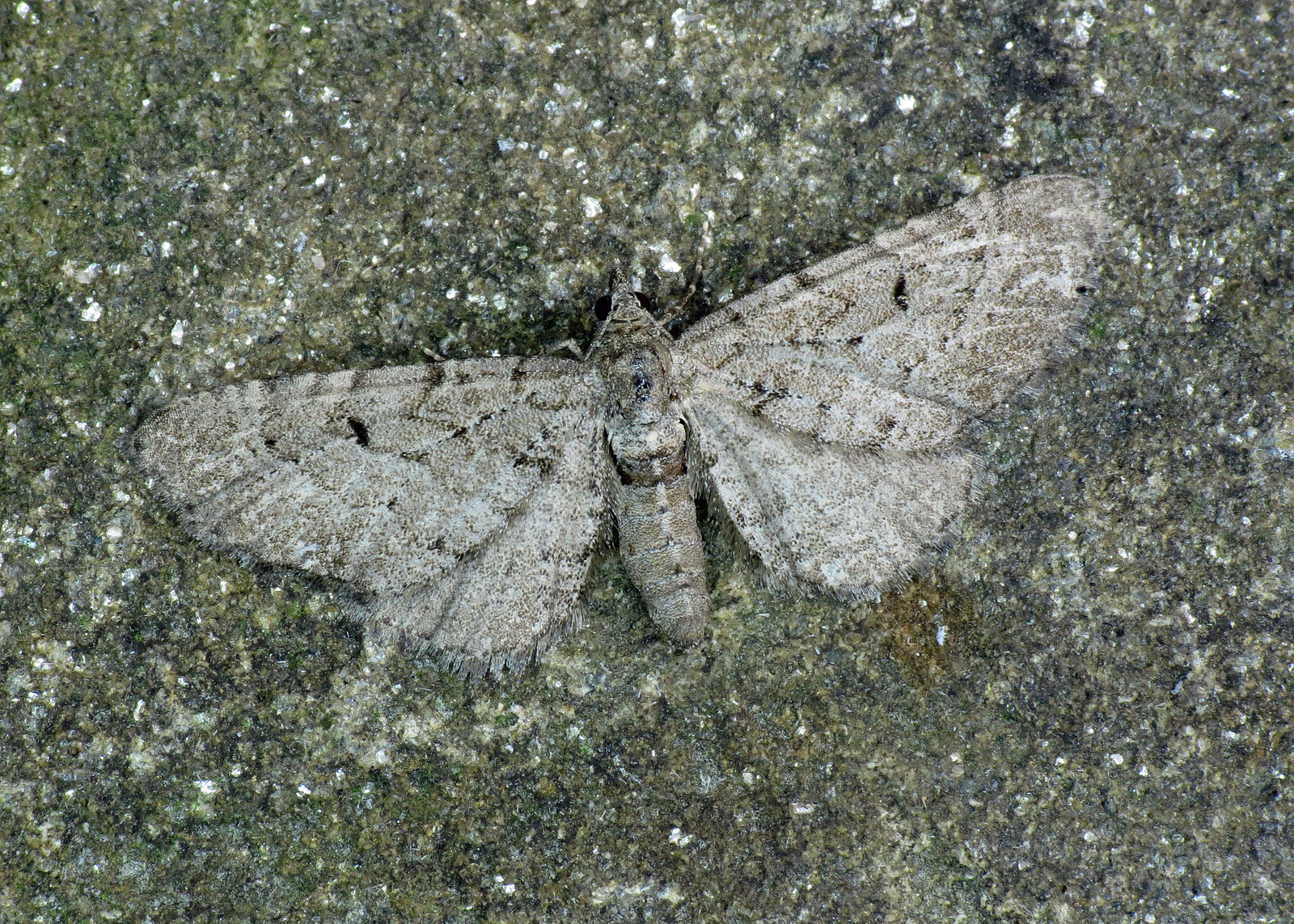 1827 Freyer's Pug - Eupithecia intricata