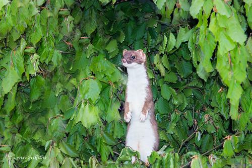 nature fauna mammal unitedkingdom wildlife ngc devon mammals stoat landmammals broadwoodwidger