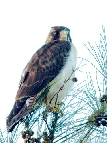Short-tailed Hawk 07-20161220