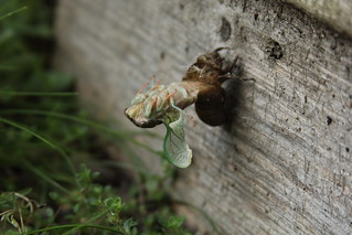 Dog Day Cicada Hatching | by rengber