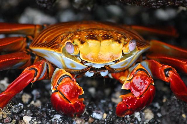 Sally Lightfoot Crab, Galapagos