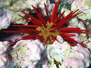 A pencil urchin is found among the coral at Kingman Reef National Wildlife Refuge.  Photo Credit: Amanda Pollock/USFWS | by USFWS Pacific