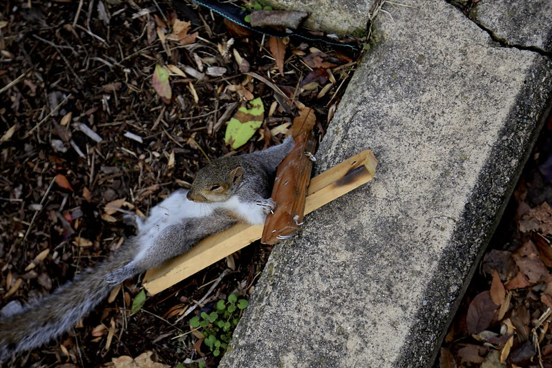 Crucified squirrel
