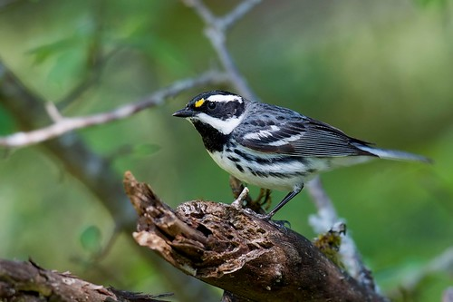 Black-throated Gray Warbler | by Gregory Lis